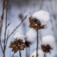 Зимние розы :: Андрей Дворников
