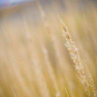 Полевые травы :: Виктор Мальгин
