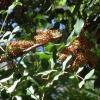Рожковое дерево :: Natalia Harries