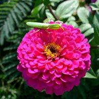 Богомол на цветочке :: Виктор Шандыбин