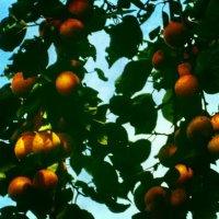 фрукты :: Ольга Сафонова