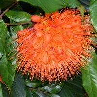 Браунея или пламя-цветок :: Антонина