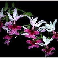 Бабочки-орхидеечки :: Alexander Andronik