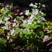 цветы весны :: юрий иванов