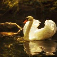 ...лебедь белая плывет... :: Виктор Перякин