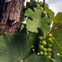 Зреет виноград :: Алина
