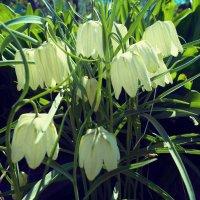 Цветы :: Мария Емельянова