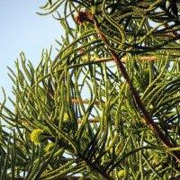Араукария с зелеными шишками :: Герович Лилия
