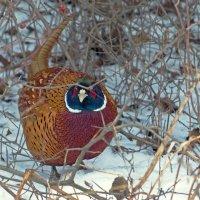 Каждый охотник желает знать ,где сидит фазан -:))) :: Александр Запылёнов