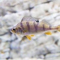 рыбка в банке... :: Oleg Akulinushkin