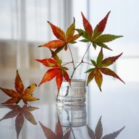 Японский клён :: Slava Hamamoto