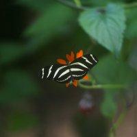 Тигровая бабочка :: Иван Птушкин