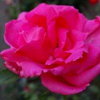 Аромат вечерней розы... :: Тамара (st.tamara)