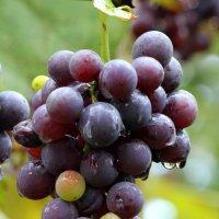 виноград :: Tasha