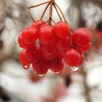 калина красная... :: prokyl
