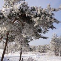 Снежная лапа :: Наталия Григорьева