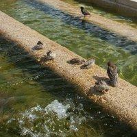 купающиеся воробьи на манежке. :: Larisa Ereshchenko