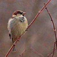 Любимая птица ,отличная модель -:))) :: Александр Запылёнов