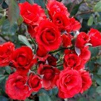 Красные розочки... :: Тамара (st.tamara)
