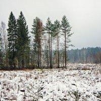Зимняя вырубка... :: марк