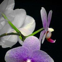 Орхидея в декабре :: Сергей Карачин