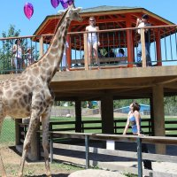 Жираф,зоопарк Даляня :: Сергей Смоляр