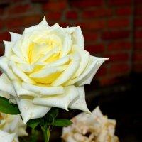 роза :: юлия