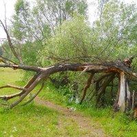 Сухое дерево :: Виктор Шандыбин