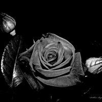 Бархат ночи. :: Svetlana Baglai