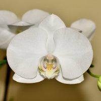 Орхидея расцвела на подоконнике :: Александр