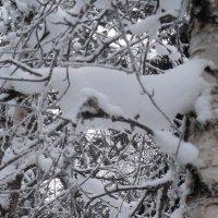 Снежный котик на березе :: Наталья Пендюк Пендюк
