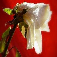 Роза :: Валерий Лазарев