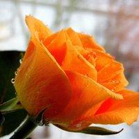 О лете роза плачет. :: nadyasilyuk Вознюк