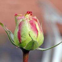 роза декабря :: Нади часоК