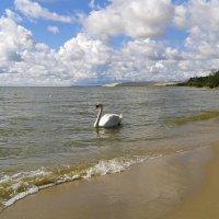 Лебедь на фоне дюны Эфа :: Elena N