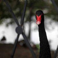 Черный лебедь :: Евгения Ки