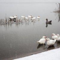 гуси на зимнем озере :: Евгения Ки