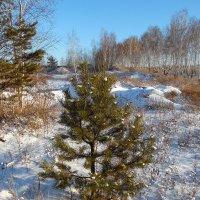 Сосёнка и зима. :: nadyasilyuk Вознюк