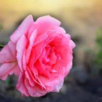 Цветы моего сада :: Юрий Пожидаев