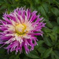 Рос в саду цветок один –  Яркий , пышный георгин. :: Андрей Нибылица