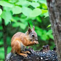 Little squirrel :: Sergey Sergaj