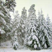 Ельник под снегом. :: Мила Бовкун