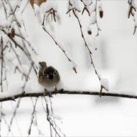 Воробьишка..... и  снег. :: Валерия  Полещикова