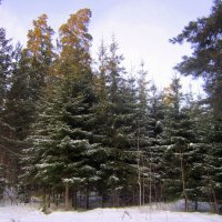 Ельник сбросил снега . :: Мила Бовкун