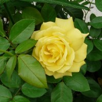 Роза, как солнце! :: Наталья (Nata-Cygan) Цыганова