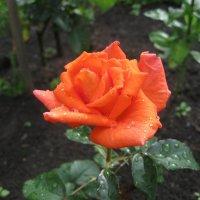 Роза :: Валентина Малютина