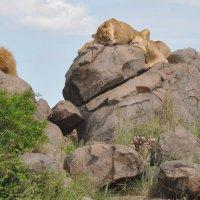 Танзания. Серенгети. :: Елена Савчук