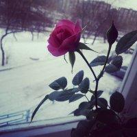 Роза на снегу :: Юлия Филина