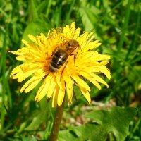 Пчёлка на одуванчике :: Виктор Шандыбин