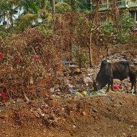 У индийских священных коров пастбища не завидные... :: Владимир Хиль